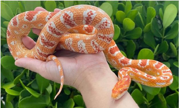 pet snake shortest lifespan